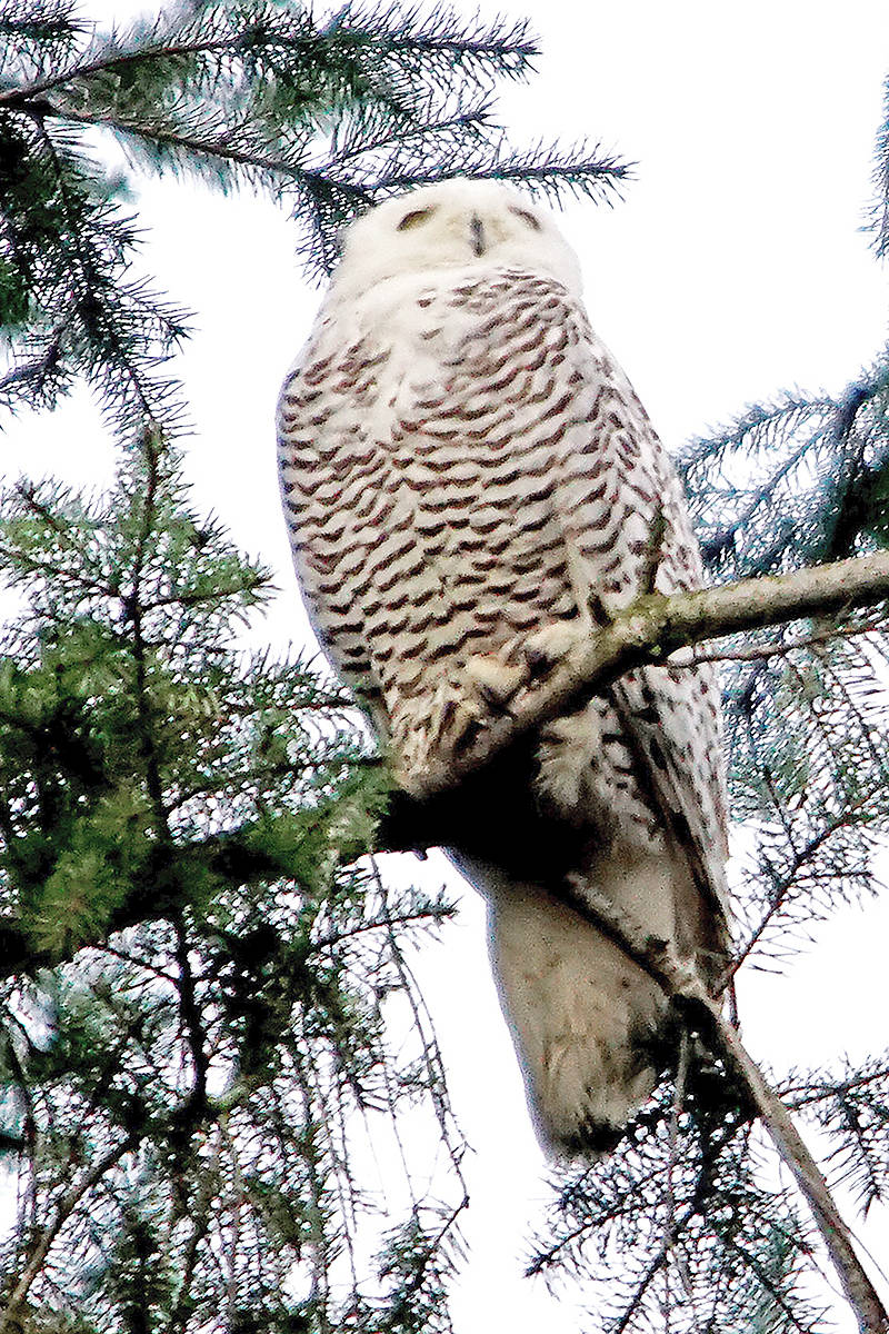This snowy owl was spotted in Langley during the Dec. 30 bird count. Photo by Bob Puls