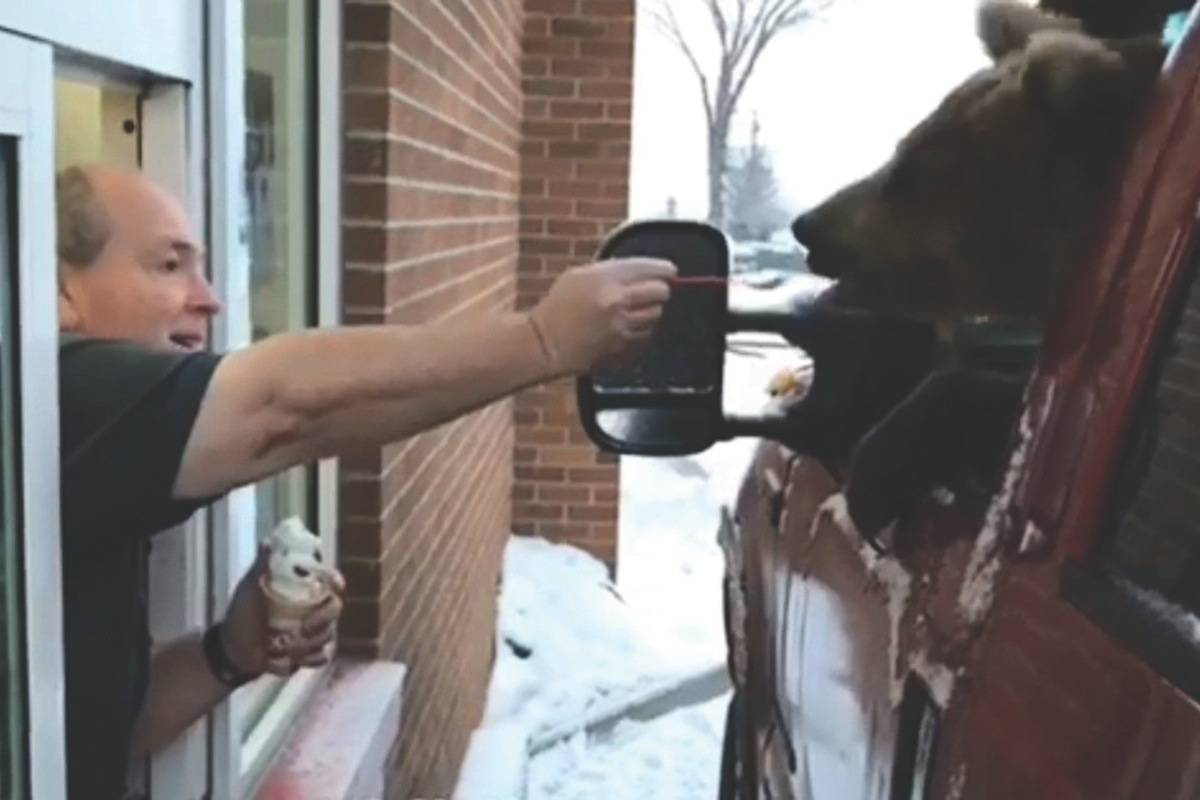 A Kodiak bear is fed ice cream in a Dairy Queen drive-thru in a screengrab from a video posted to Facebook by the Discovery Wildlife Park.                                Photo from THE CANADIAN PRESS