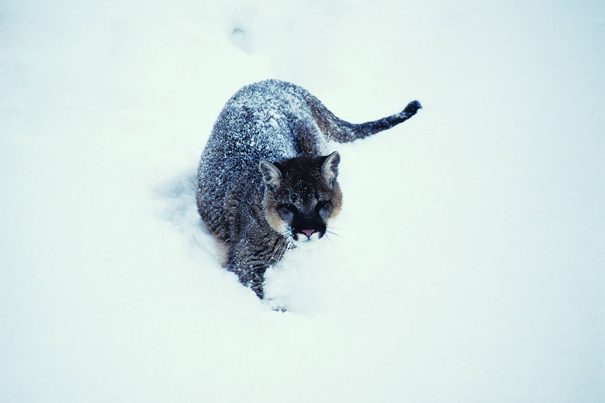2 dogs die in attacks as deep snow pushes B.C. cougars out of Cariboo forests
