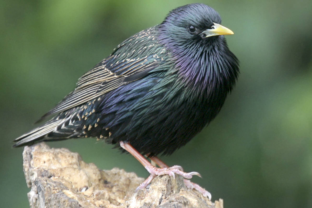 More than 800,000 starlings have been trapped and euthanized in the Okanagan and Similkameen over the last 15 years. Estimates of damage caused by the invasive and destructive birds still account for about $4 million in lost crops.                                Courtesy of Master Gardeners