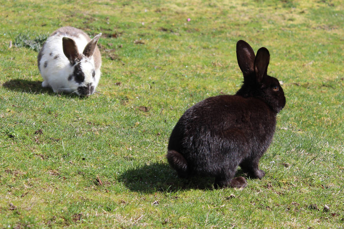 Experts urging caution as rabbits die by the hundreds in B.C. city