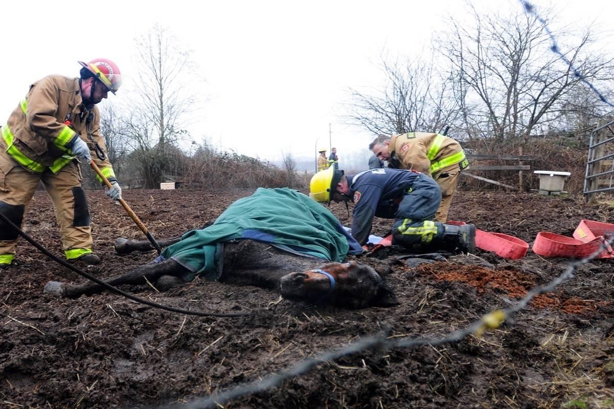 Horse found stuck in muddy field rescued in Maple Ridge