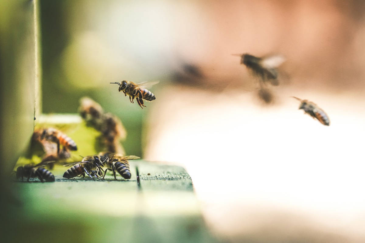 According to Cloverdale's John Gibeau, who has more than 50 years experience as a beekeeper, the refusal of just three Albertan beekeepers, representing 6,000 colonies, to send their bees to B.C. blueberry farms could potentially cost the industry $12 million to $15 million. (Eric Ward / Unsplash)