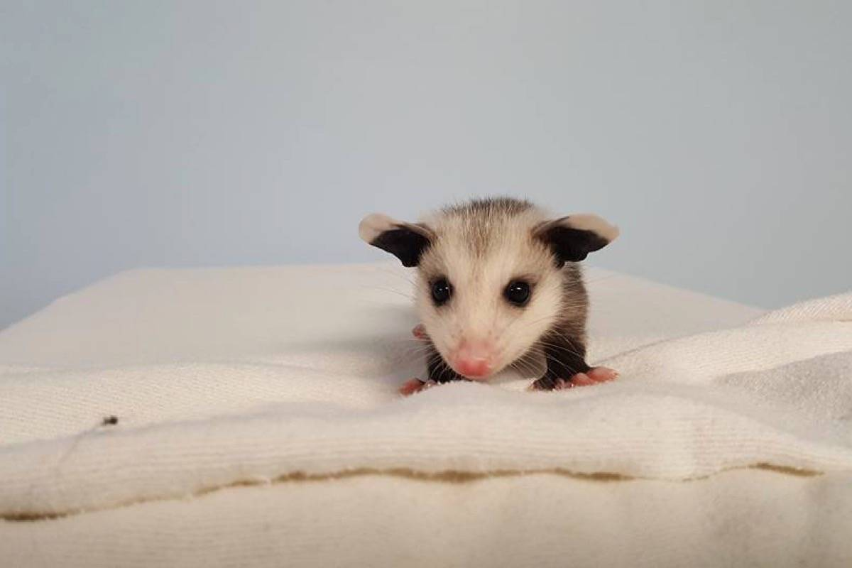 This days-old opossum is safe with mom and staying at Critter Care Wildlife Rehabilitation Centre in Langley. The non-profit hosts its annual dinner gala fundraiser April 28 at Cascades Casino. Submitted photo
