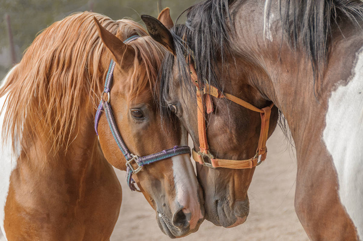 Two stallions in communication. (Courtesy Langley Camera Club)
