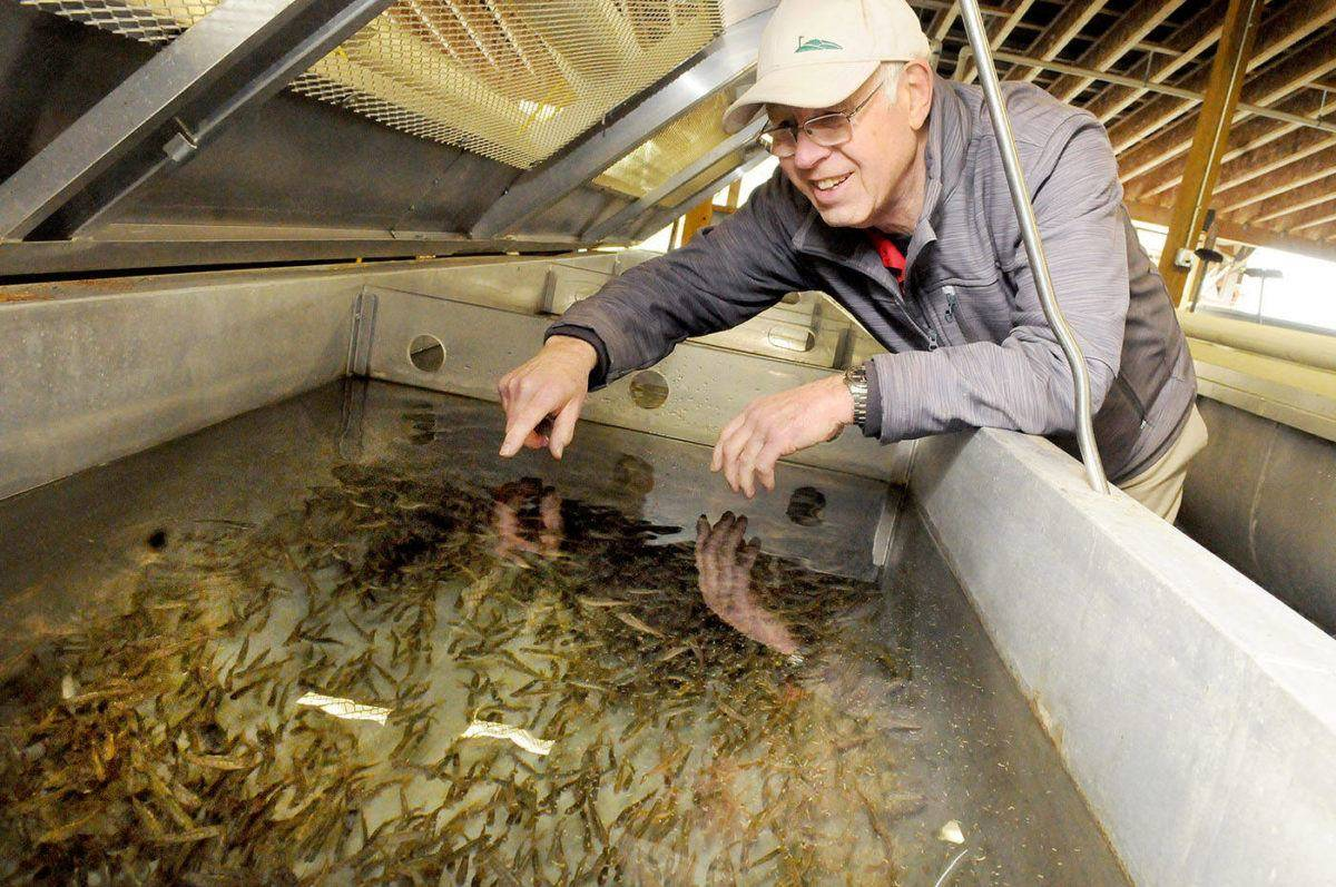 Nicomekl Enhancement Society volunteer Brian Armstrong stood over salmon fry at the society hatchery in Langley. The hatchery is hosting its annual fish release Saturday. Troy Landreville Langley Times