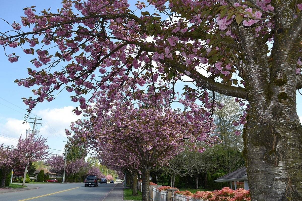 Street is blooming pink on the first day of May