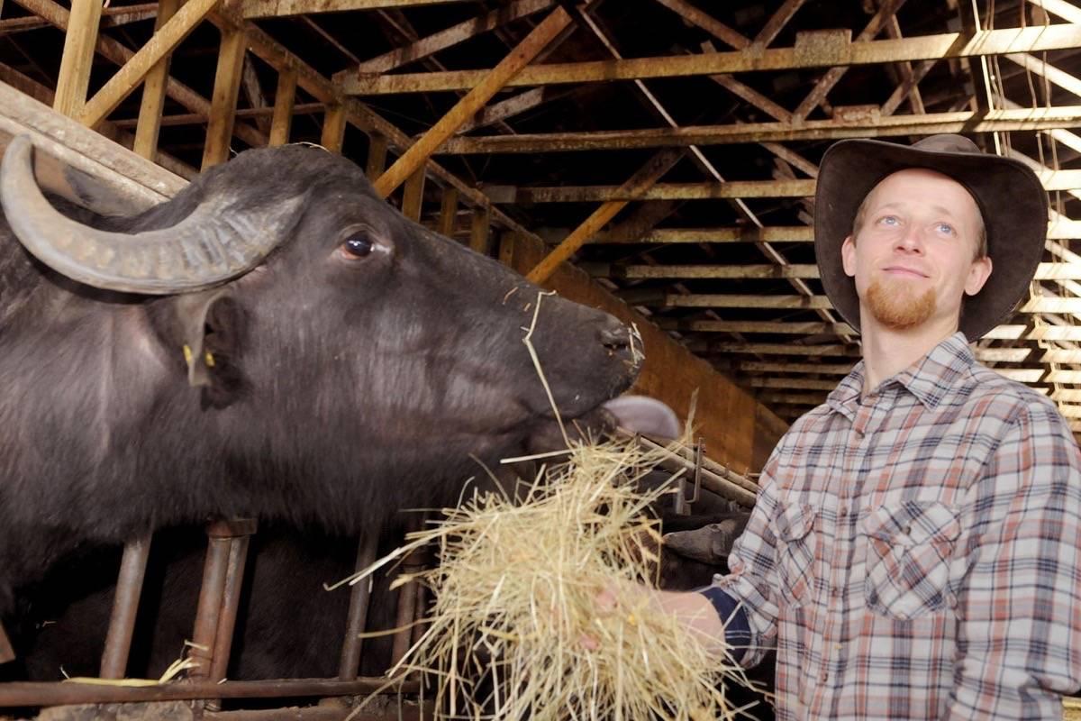 Brad Bennik, known in some circles as 'Buffalo Brad' feeds one of his water buffalo inside a Port Kells barn.                                 Troy Landreville photo