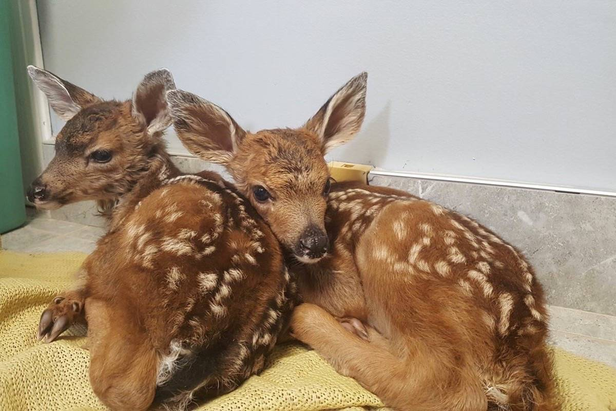 Fawns Duke and Daisy are among the young animals brought to Critter Care this spring. submitted photo