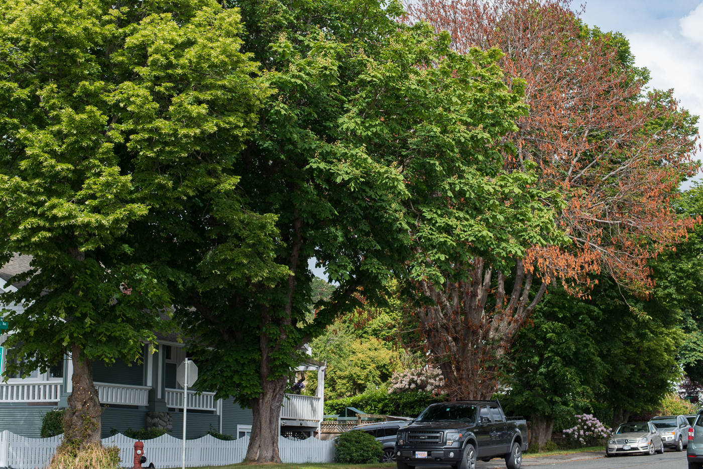 The sudden death of a large chestnut tree that may have been intentionally poisoned has spurred an investigation by Oak Bay Police and the District of Oak Bay. (Keri Coles/Oak Bay News)