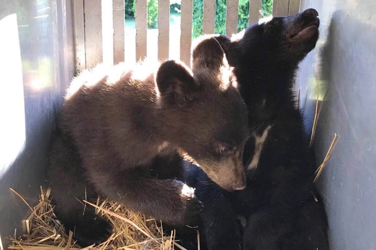 B.C Conservation Officers caught these orphaned bear cubs in Castlegar. The cubs were good candidates for rehabilitation so have been transferred to the Northern Lights Wildlife facility. (BCCO Service)