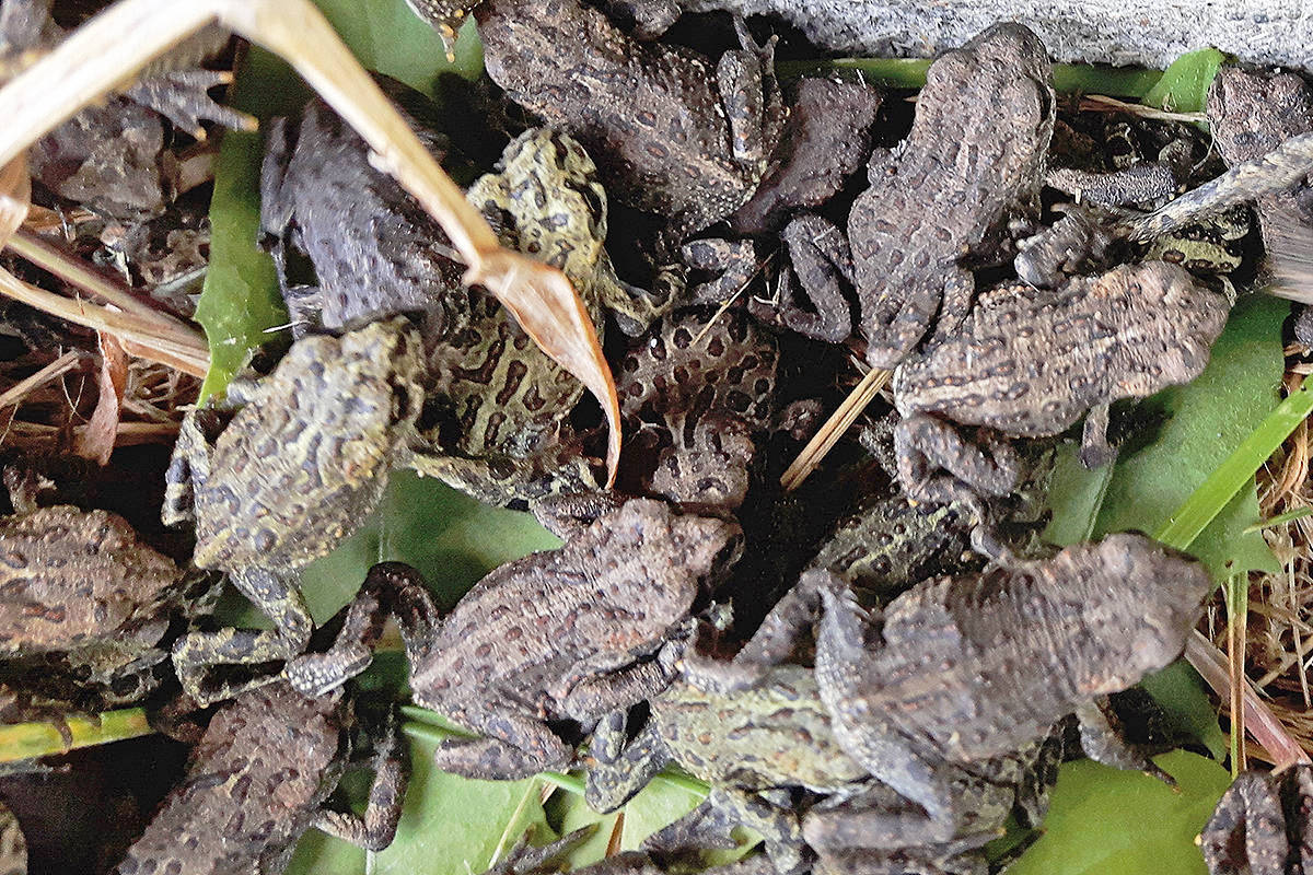 Last year, an estimated 96,000 toadlets migrated from ponds at 18 Avenue and 196 Street.                                 Langley Times file photo