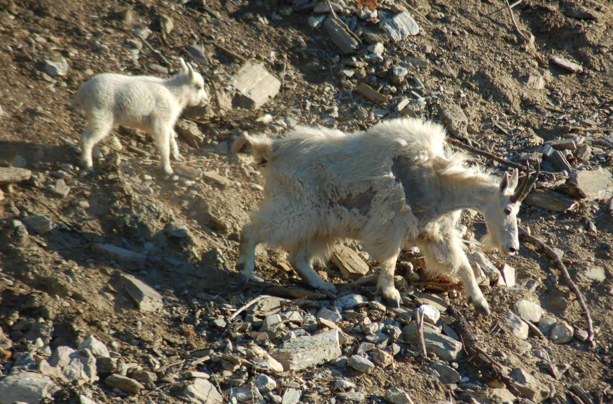 Barb Butchart took these photos on Highway 31 at Lardeau Bluffs on June 18. The next day two of the mountain goats were struck and killed by a large vehicle.