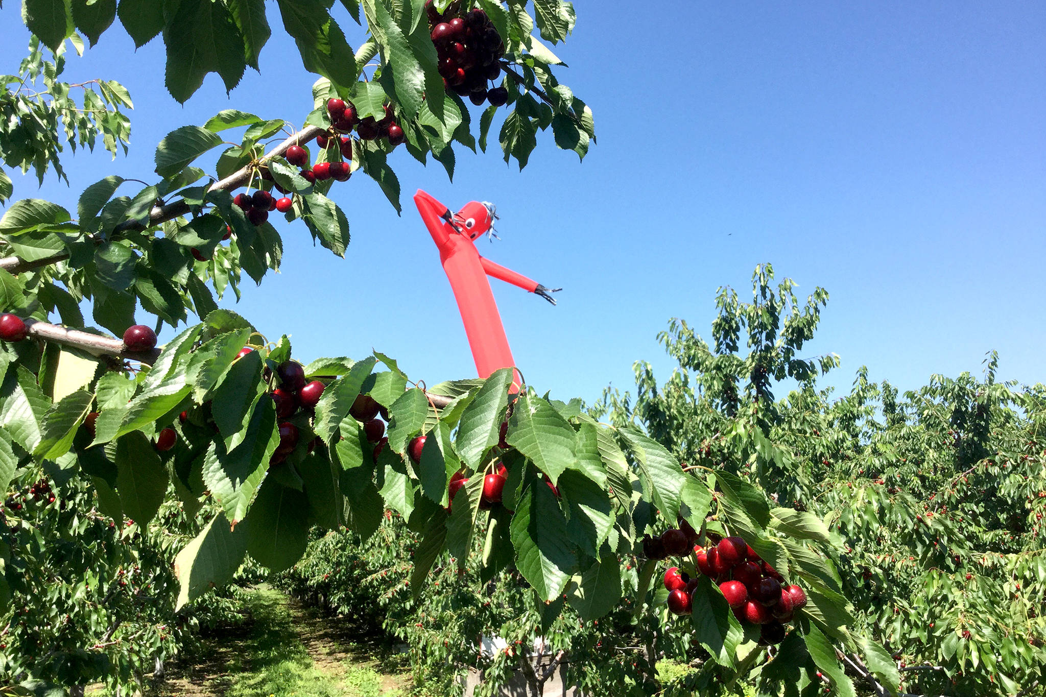 A Vernon orchard has a unique way of keeping the birds away from its bumper cherry crop. (Submitted Photo)