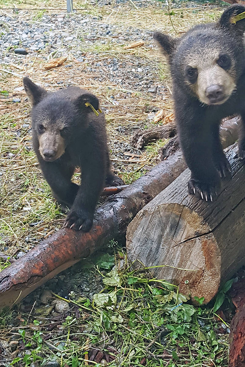 VIDEO: Cute bear cubs get wet at Langley Critter Care facility