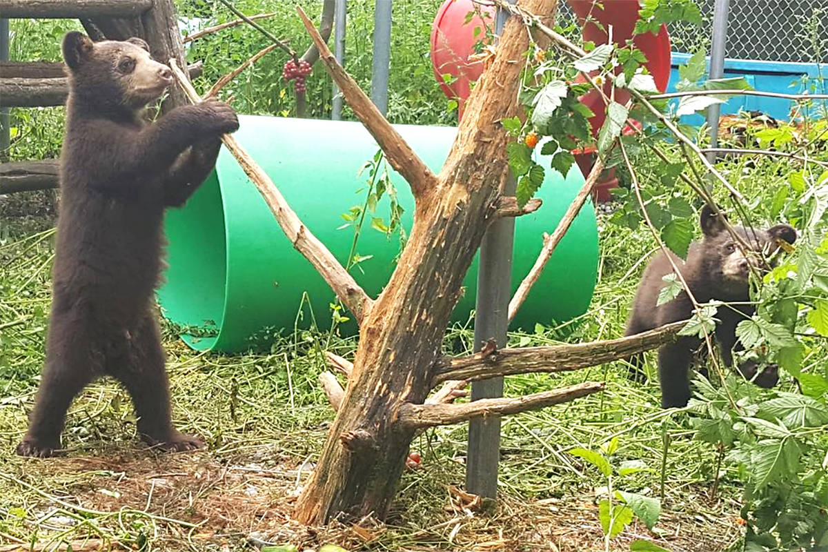 Orphaned bear cubs Seymour and River are staying at the Critter Care wildlife rehabilitation facility in Langley until they can be returned to the wild. Photo courtesy Critter Care