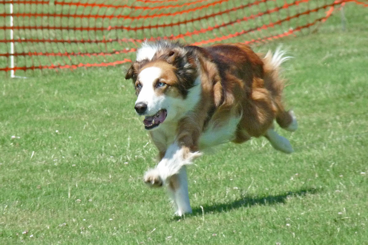 VIDEO: Open-to-all sprinter event for dogs comes to Langley