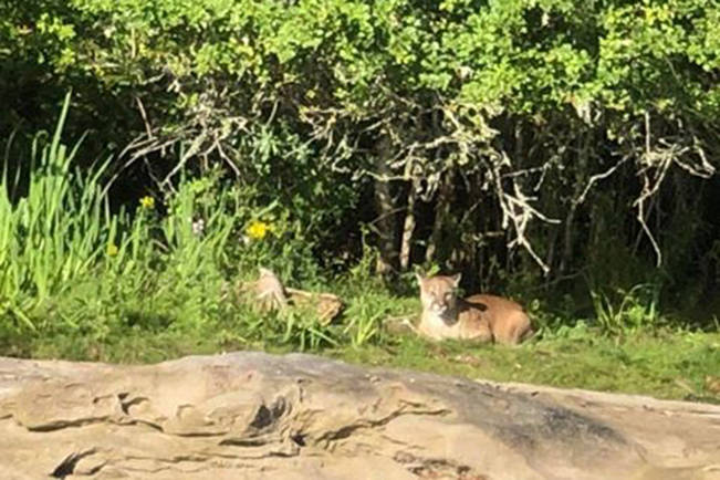 Kayakers were concerned after spotting a cougar on Newcastle Island last week. (Ândria Lopes Dos Santos photo)