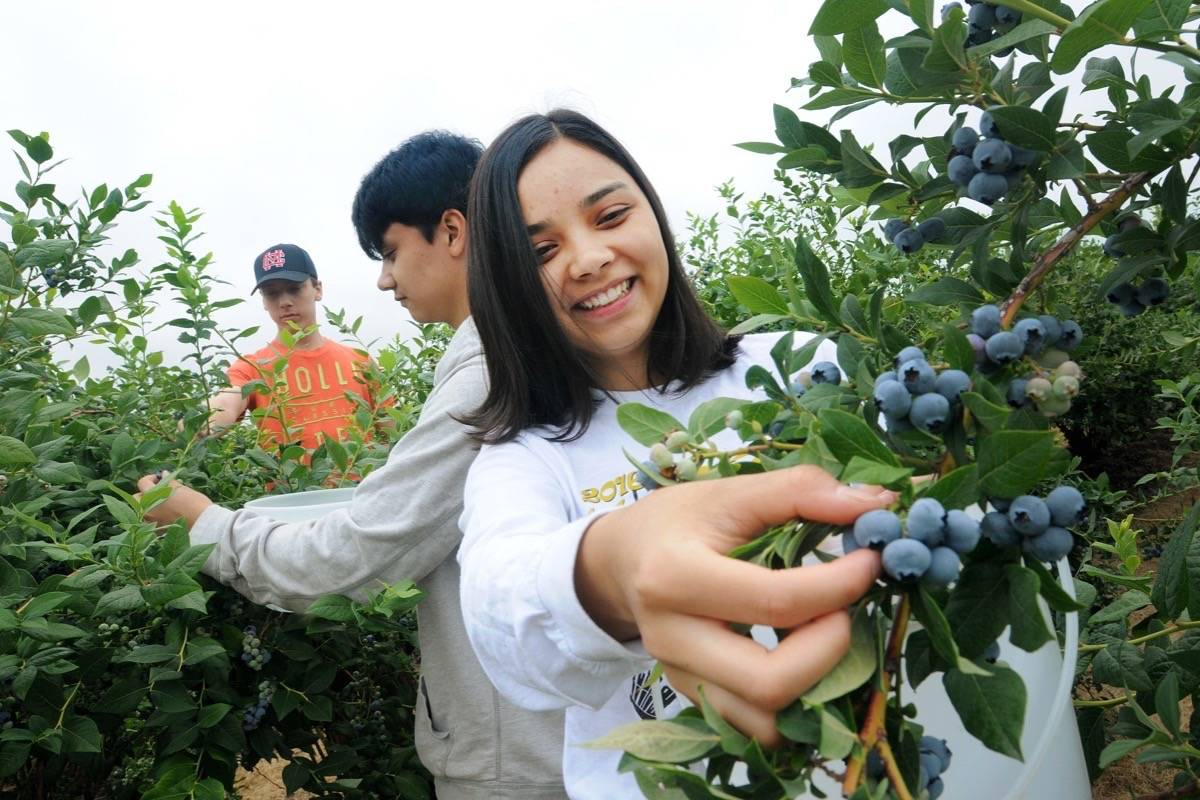 Rebekah Escueta, 19, front, picks berries with her brother Dominic, 18, and Matthew Davies, 15, at back, on Doremi Blueberry Farm in Pitt Meadows. The trio will help with picking, sorting and processing throughout the blueberry season. (Colleen Flanagan/THE NEWS)