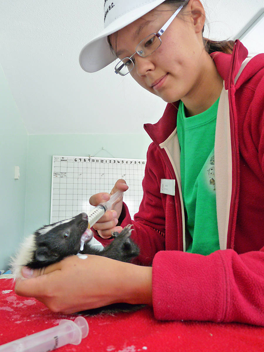 A baby skunk gets fed by Critter Care intern Sophie. Dan Ferguson Langley Times