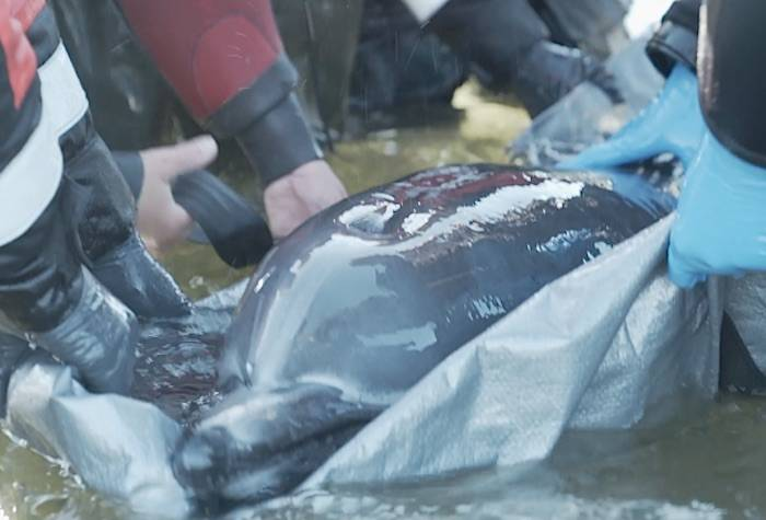 VIDEO: B.C. rescuers unable to save dolphin found on Vancouver Island