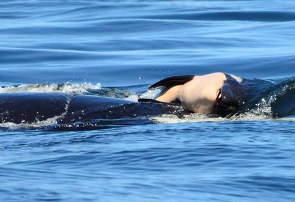 Scientists concerned about endangered orca still pushing body of her calf