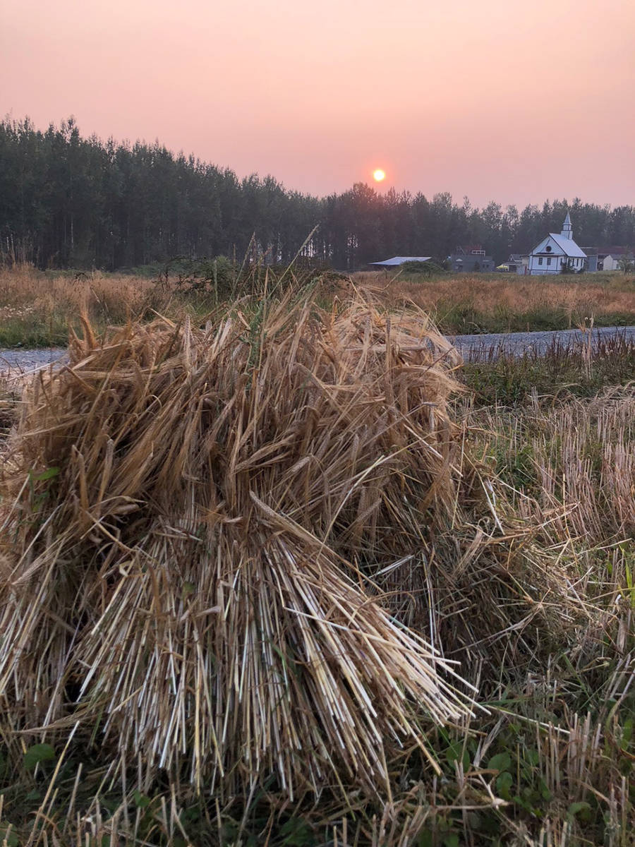 Barley is harvested at the MacInnes farm using antique machinery and methods. Photo courtesy Melanie MacInnes