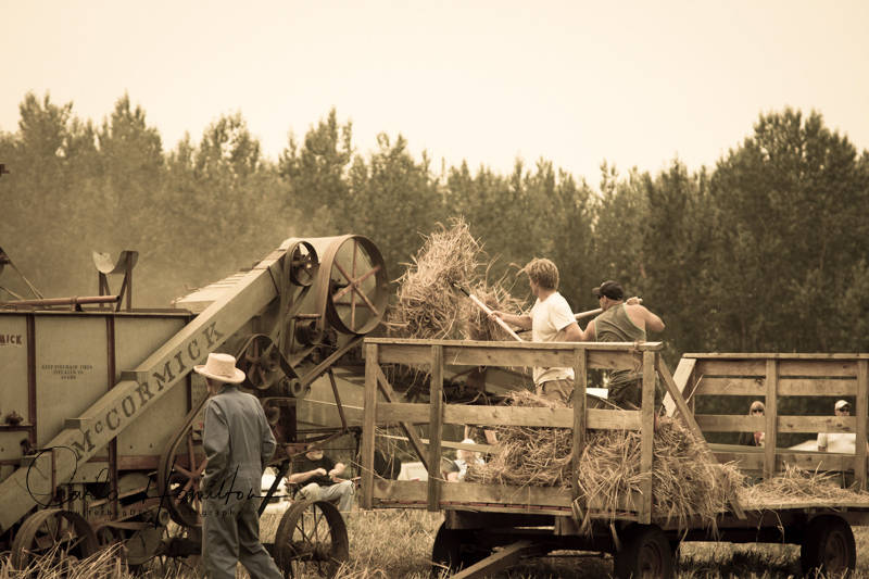 An old-fashioned barley harvest using antique equipment was held at MacInnes Farms on Aug. 18. Photo courtesy Carla Hamilton