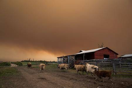 Cattle run on a ranch as the Shovel Lake wildfire burns in the distance sending a massive cloud of smoke into the air near Fort St. James, B.C., on Friday August 17, 2018. (THE CANADIAN PRESS/Darryl Dyck)