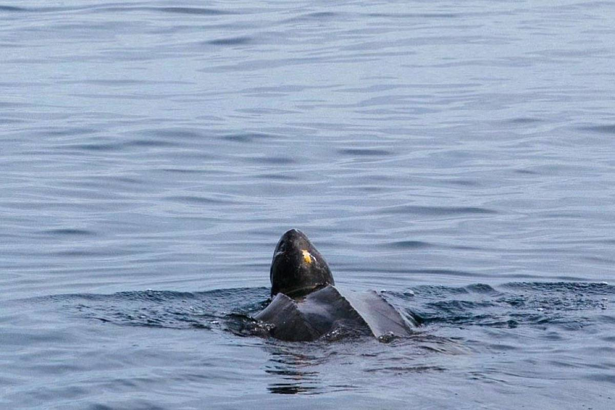 Endangered Leatherback Turtle spotted near Vancouver Island