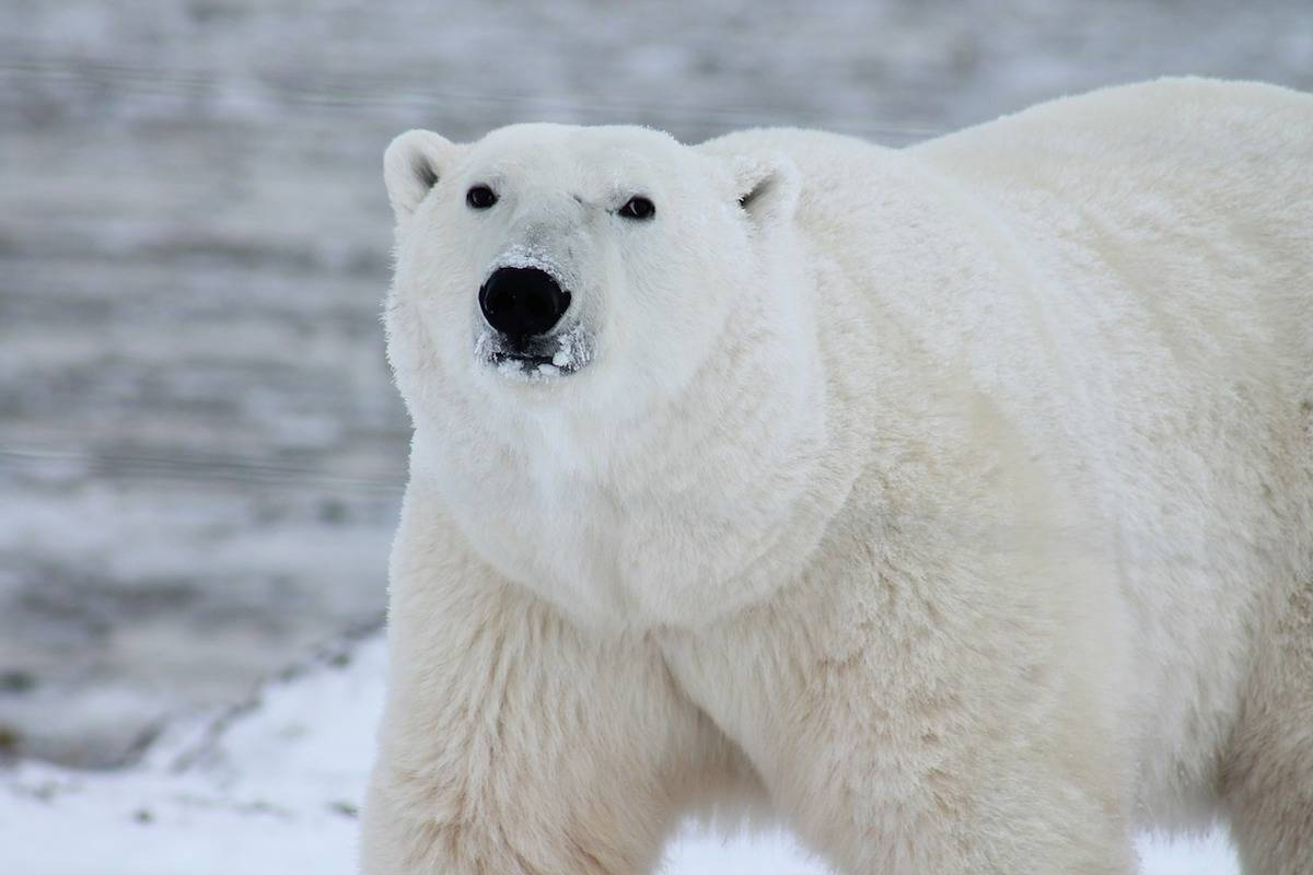One hunter dead, two injured after Nunavut polar bear attack