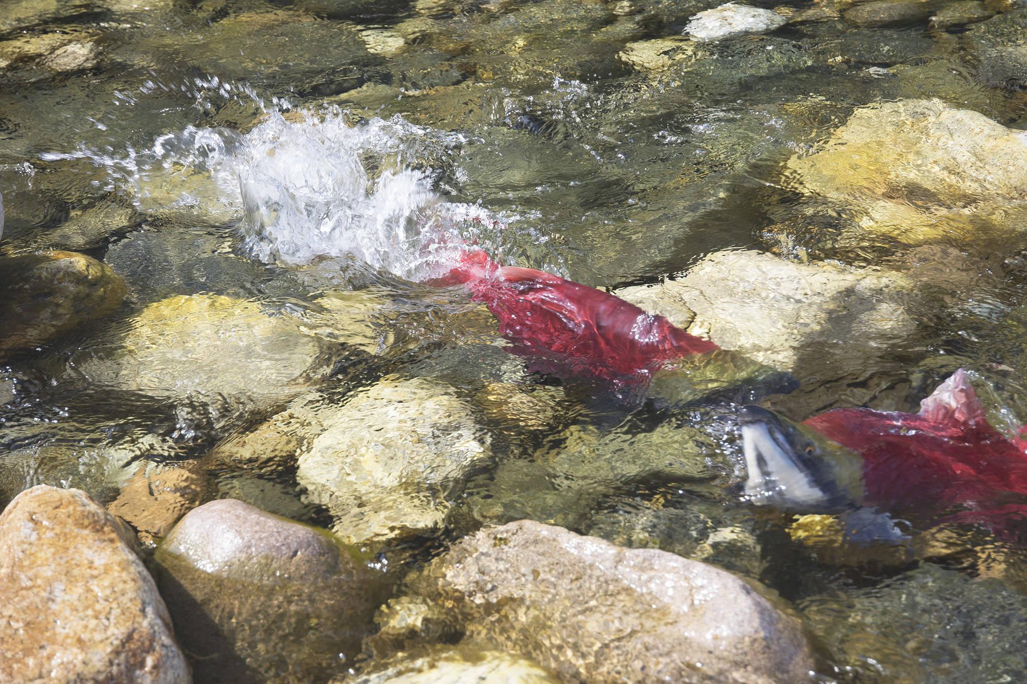 Video: B.C. sockeye salmon run creates a beautiful spectacle