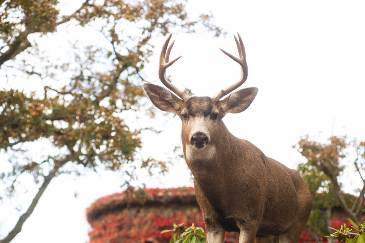 Oak Bay Police are reminding residents that the wild animals may forcefully and aggressively defend their young against perceived threats. The best way to avoid human-wildlife conflicts with deer is to stay a safe distance away. (Keri Coles/Oak Bay News)