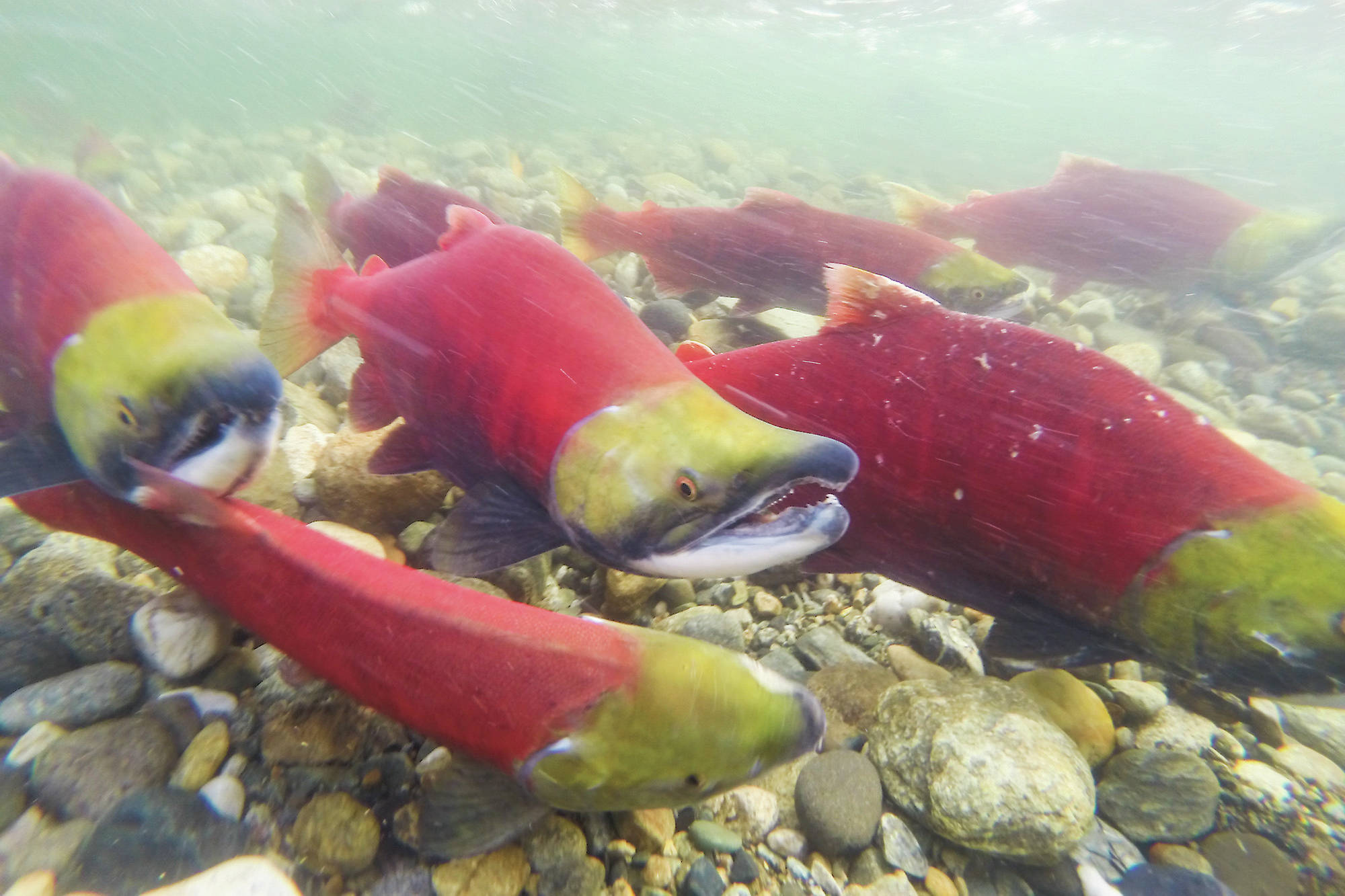 Summer sockeye stocks have been returning to spawning grounds at Scotch Creek and Anstey and Seymour rivers while late-run sockeye that call the Shuswap home, including the Adams and Eagle rivers, will soon be on their way. (File photo)