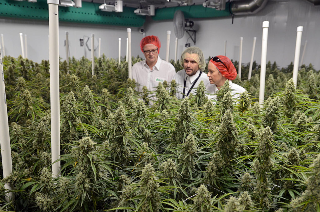 From (hydroponic) farm to table: A look inside a cannabis production facility