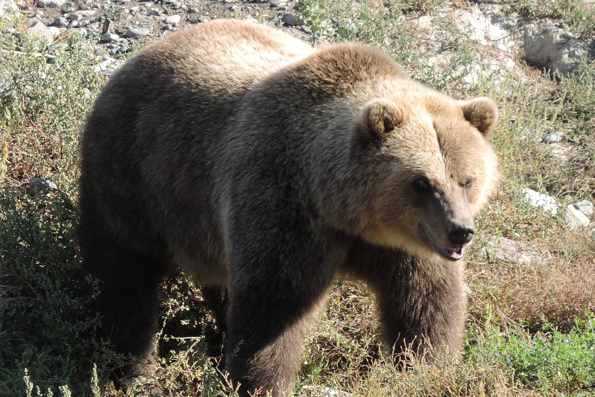 Grizzly bears, like the one shown in this file photo, are causing problems for local farmers. But conservation officers say local farmers have to do more to prevent harmful interactions.                                (File photo)