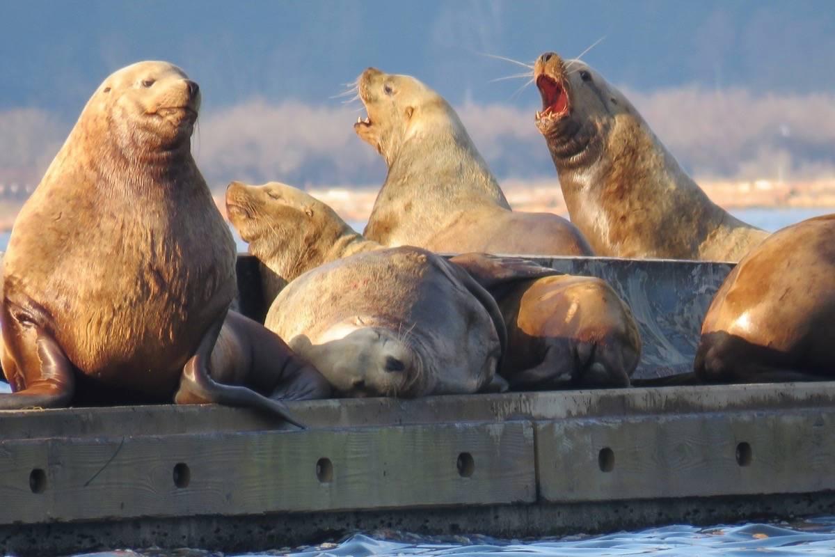 Sea lions in Cowichan Bay. (Cheryl Trudell photo)