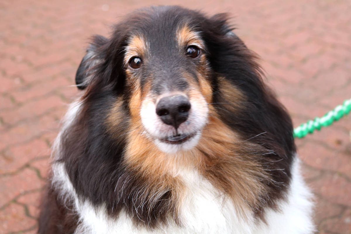 Cameron, a 9-year-old Shetland Sheepdog was banned from using Uplands Dog Park. Miranda Fatur Langley Times