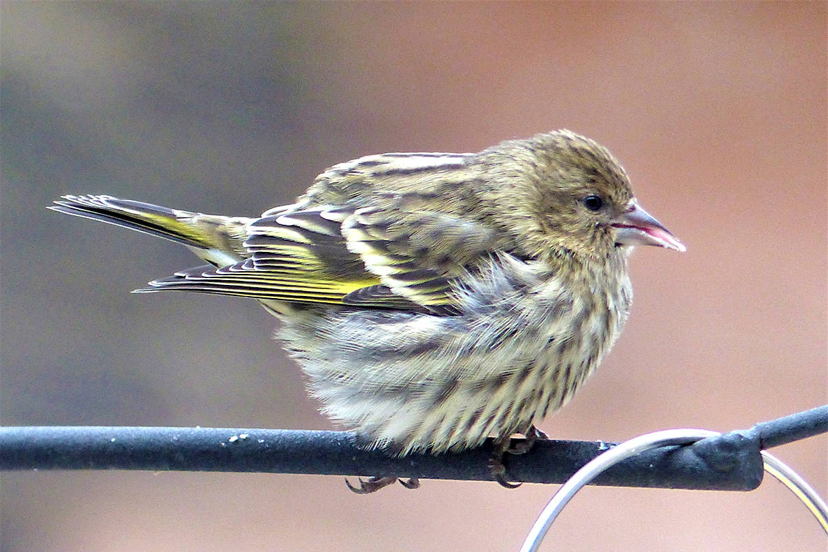 Photo of Pine Siskin taken during the 2017 Christmas bird count in Langley. Courtesy Mike Klotz