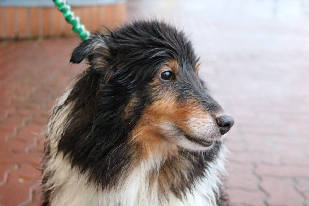Cameron the Shetland sheepdog was wet after playing outside in Uplands Dog Park on Tuesday morning. Miranda Fatur Black Press