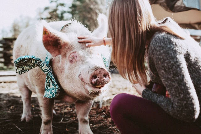 An 800-pound pig needs a forever home, Langley animal shelter says