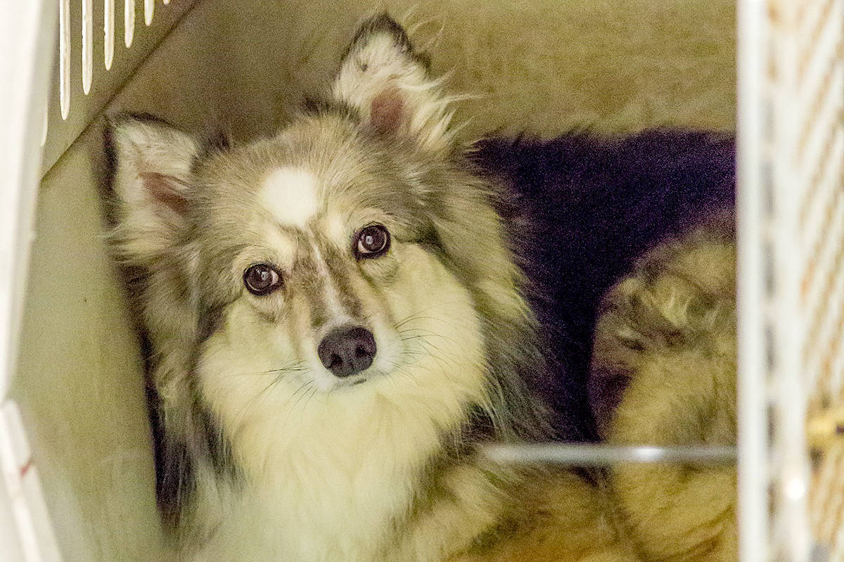 A total of 46 dogs, consisting of American Eskimo, Husky, Border Collie and Samoyed-cross breeds, are receiving veterinary care in Kelowna, Penticton and Quesnel after being seized from a property near Williams Lake