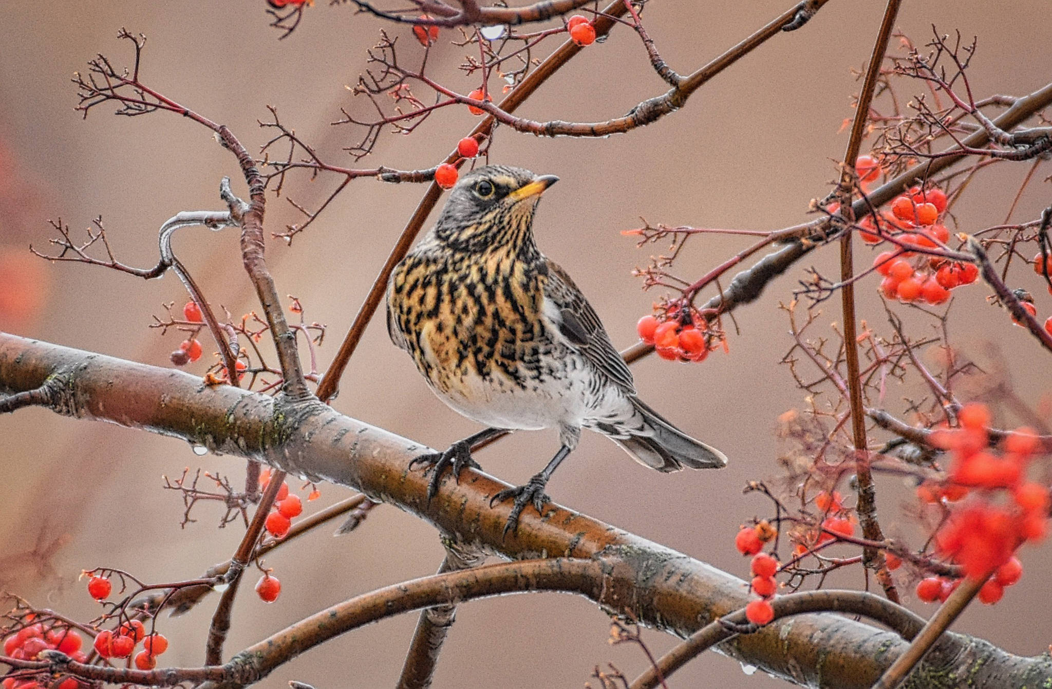 This fieldfare, a member of the thrush family, was spotted among a flock of robins during the annual Salmon Arm Bird Count on Dec. 16. This is only the second time the bird, which is native to northern Europe and Asia, has been seen in B.C. (Roger Beardmore photo)