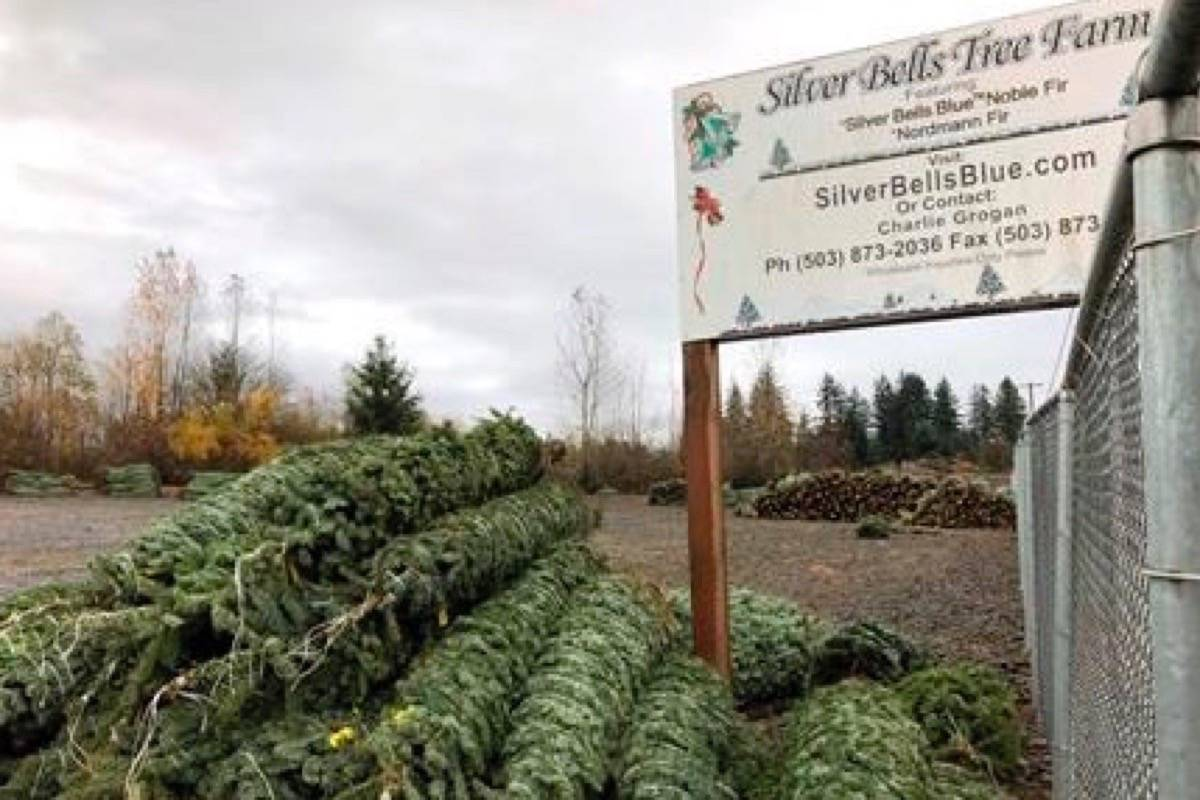 In this November 2018 photo, Christmas trees sit in a dirt lot at Silver Bells Tree Farm in Silverton, Ore., before being loaded onto a semi-truck headed for a Los Angeles tree lot. (THE CANADIAN PRESS/AP Photo/Gillian Flaccus)