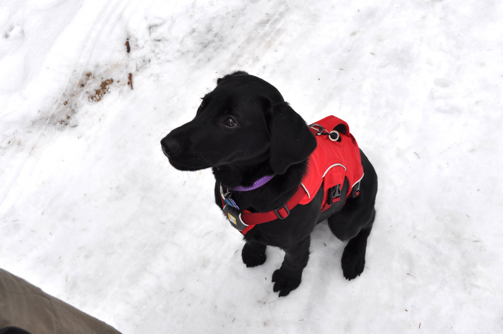 Chilko has aspirations of becoming an avalanche rescue dog. Keri Sculland/Star Photo