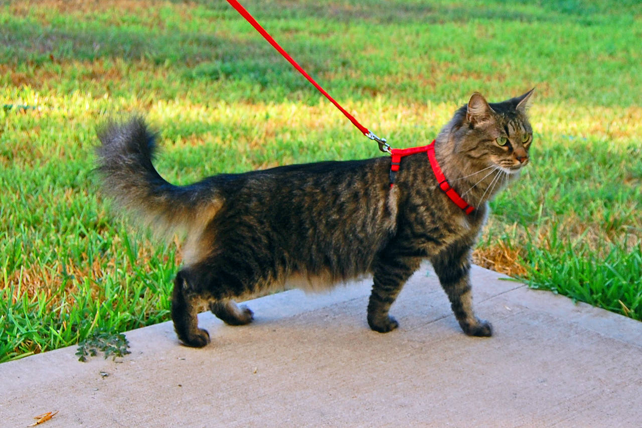 Bylaws in the Victoria mandate that cats need to be in control of owners at all times when out in public, so don't forget to bring your leash. (Wikimedia Commons)