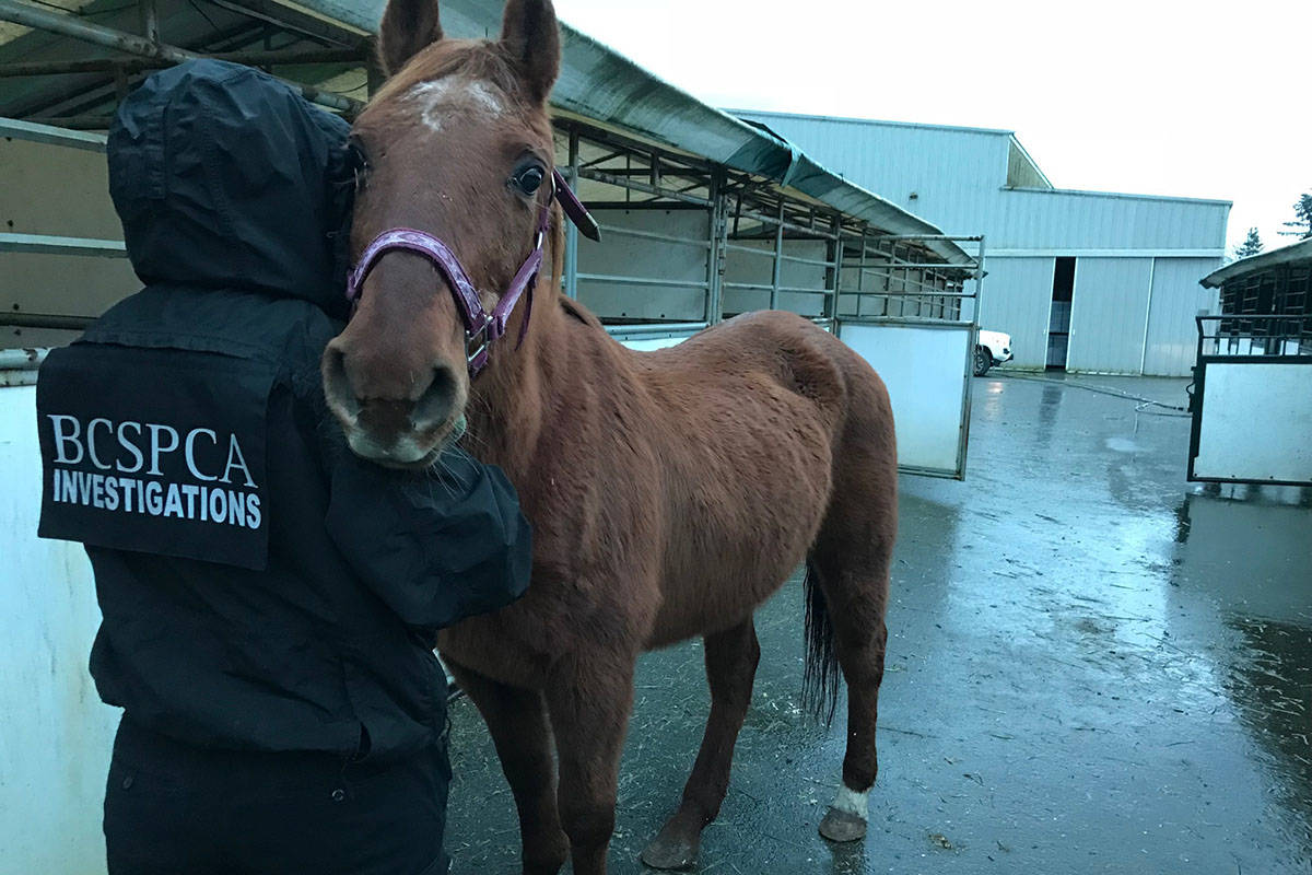 27 horses will be available for adoption. Courtesy BC SPCA