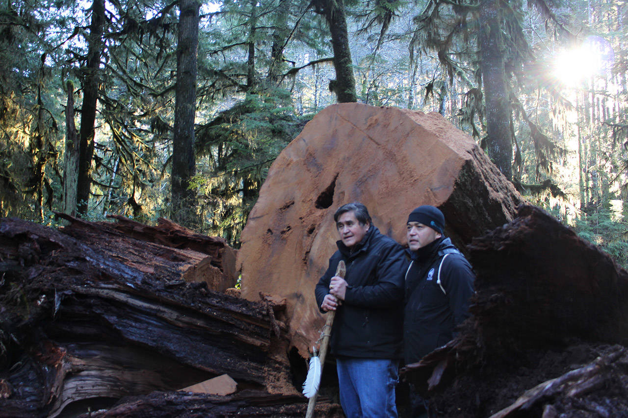 Master Nuu-Chah-Nulth carver Tim Paul (Left) and Edward Johnson Jr., program manager for Huu-ay-aht First Nation, stood near an 800-year-old felled tree near Bamfield. Paul will carve the tree into a new Language Revitalization Pole for the UN 2019 Year of Indigenous languages (File Contributed/First Nations Education Foundation)