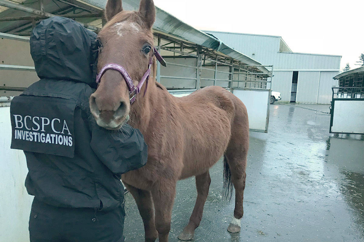 Horses including this one were seized from a Murrayville property. (BC SPCA)