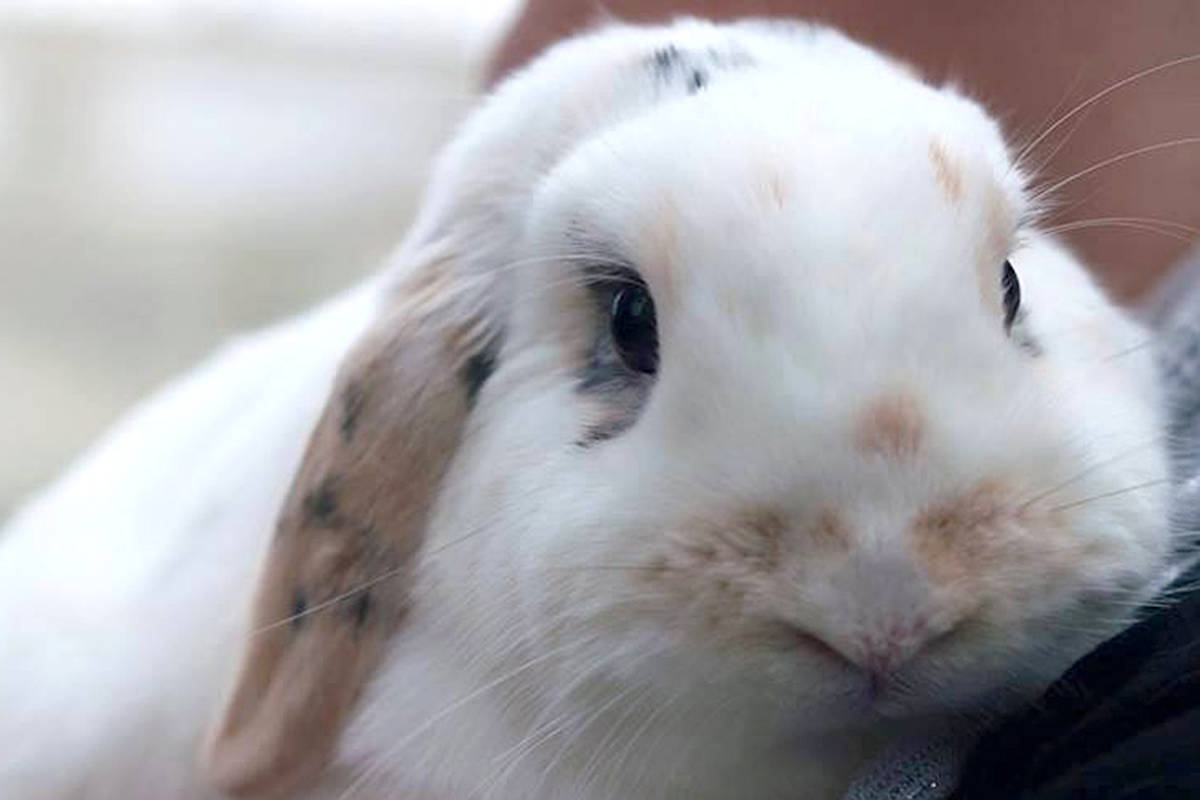 Marina Hebert is a volunteer with the Aldergrove-based Small Animal Rescue Society. This is a picture of one of her bunnies, Ana. (Christopher Orr photo)